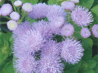 Ageratum Hawaii Blue