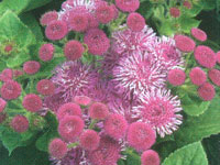 Ageratum Hawaii Royal