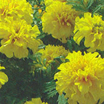 Marigold Little Hero Yellow
